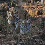 tigrsave